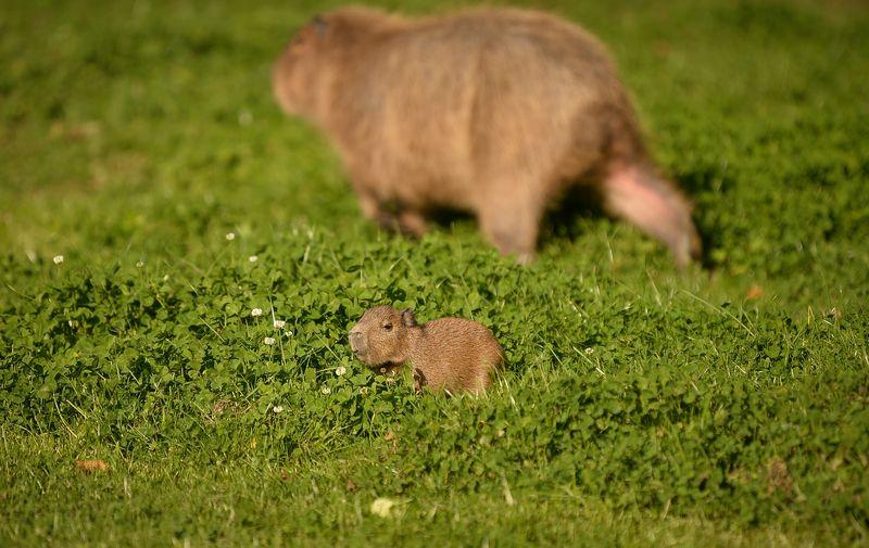 9_Capybara-14