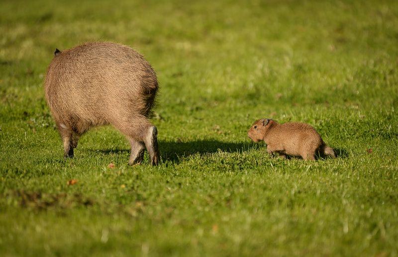 10_Capybara-17