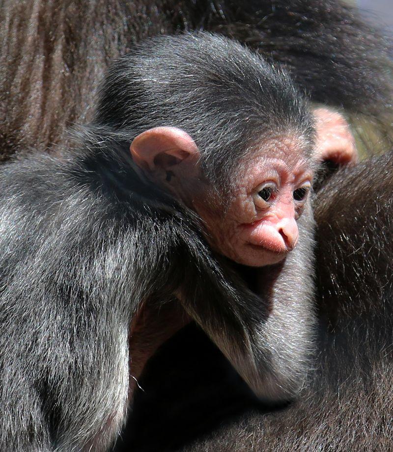 Gibbon baby-Carla Knapp