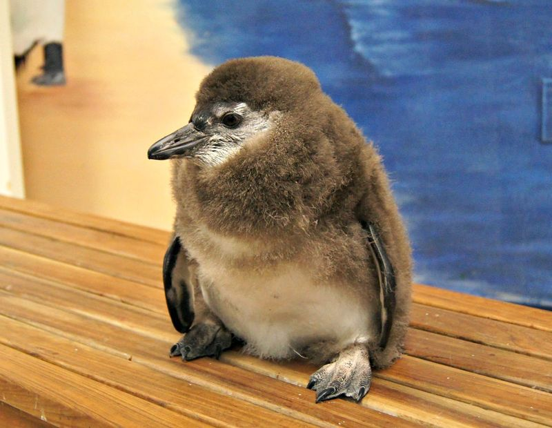 Penguin Chick's Name May Stick Like Glue