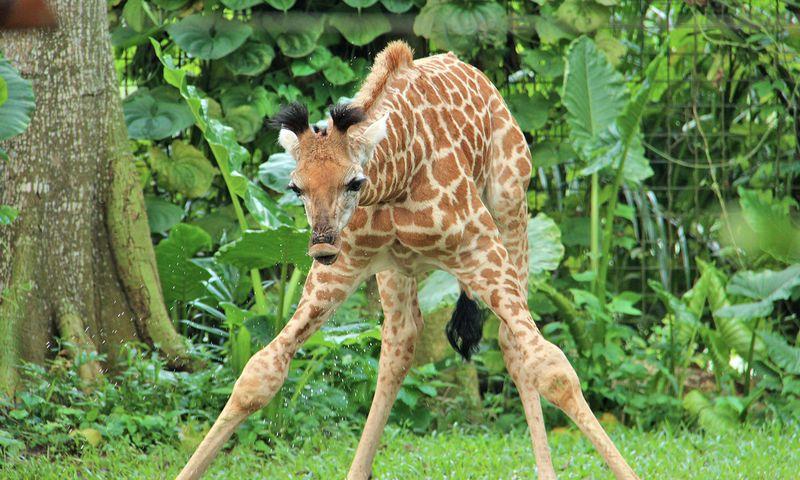 3_SZ Image 12_Giraffe calf_WRS