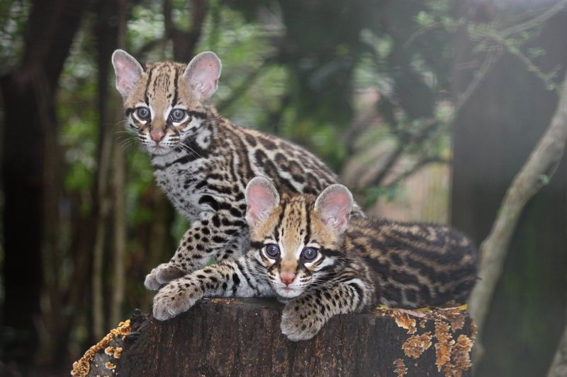 3_GreenvilleZoo_ocelot_kittens