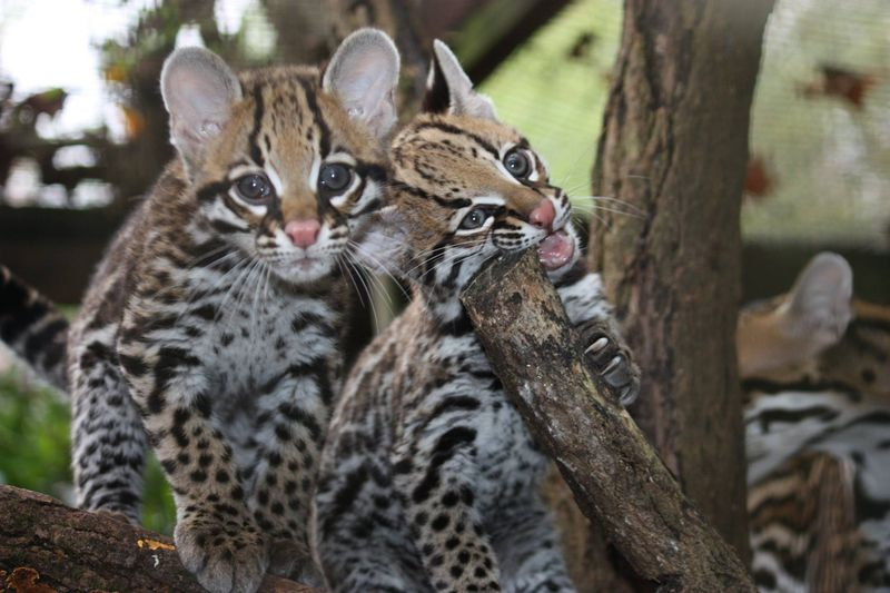 4_GreenvilleZoo_ocelot_kittens