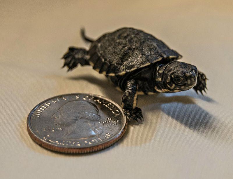 Western Pond Turtle_DOB Oct31_6NOV2015_TC (1 of 17) (2)