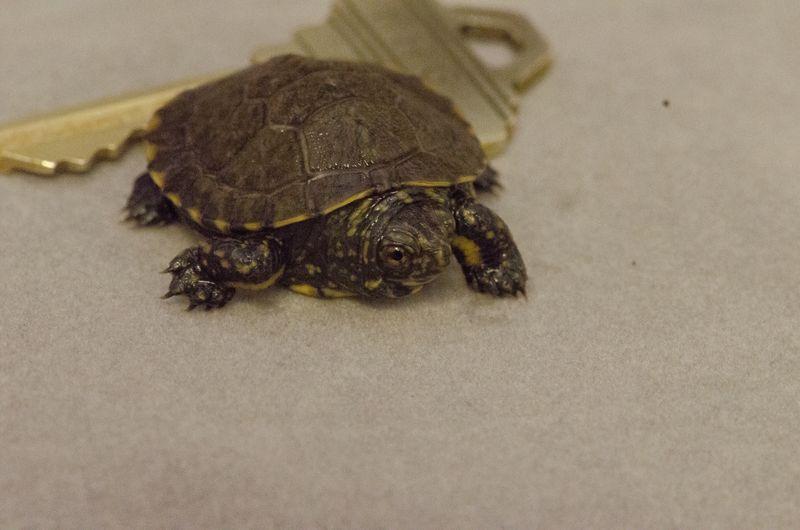 Western Pond Turtle Hatchling_George_11Oct2015_TC (9)