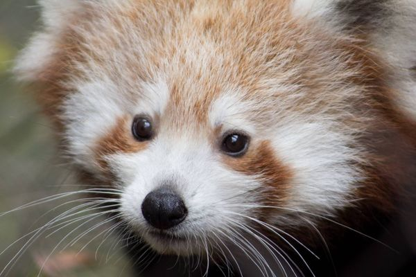 philly zoo u2019s red panda twins need names