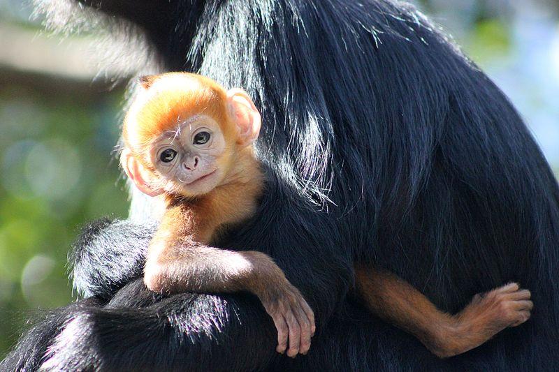 Baby Langur (55)