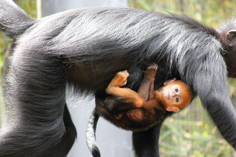 Baby Langur (3)