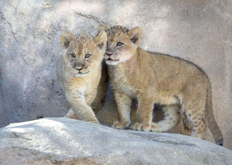 1_lion_cubs_01-778dac139c9bbf7dad3fc7a59afe301f