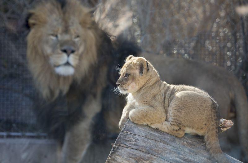 3_lion_cubs_05-ac16c1142b79b853833d1298727eabe9
