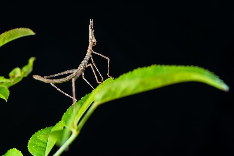 Peruvian Jumping Stick Baby-0006-8836