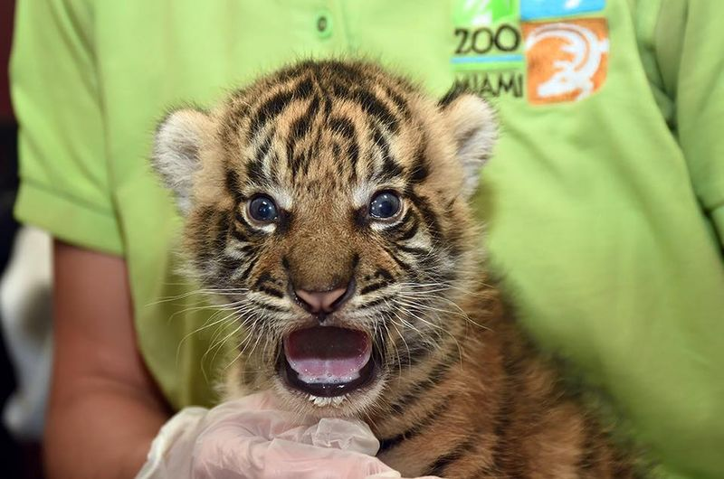 Tiger Cub Gets Life-Saving Help From Keepers