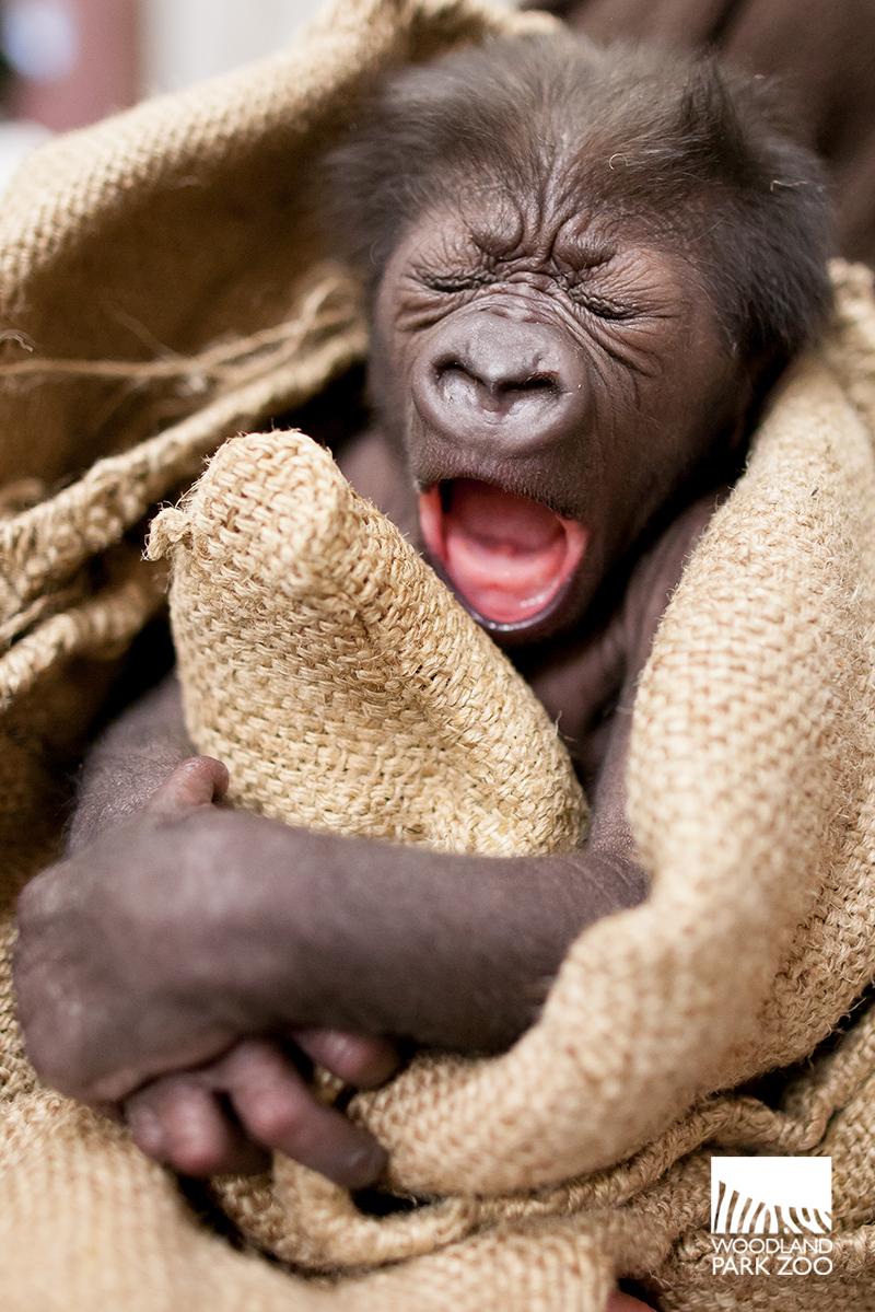 1_15_12_2 Gorilla Baby JDL-5