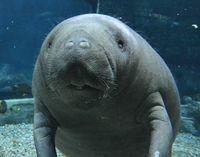 Rescued Manatee Finds A Home At Cincinnati Zoo