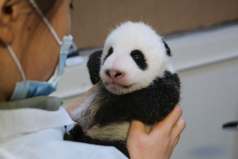 Image 29 - Toronto Zoo Giant Panda Cubs at 8 weeks
