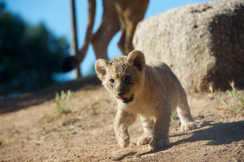 1_Lion Cubs 5- Photo Cormac Hanrahan