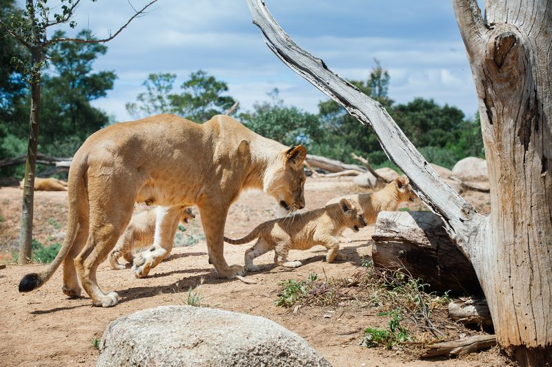 6_Lion Cubs - Werribee Open Range Zoo - Will Watt_sm