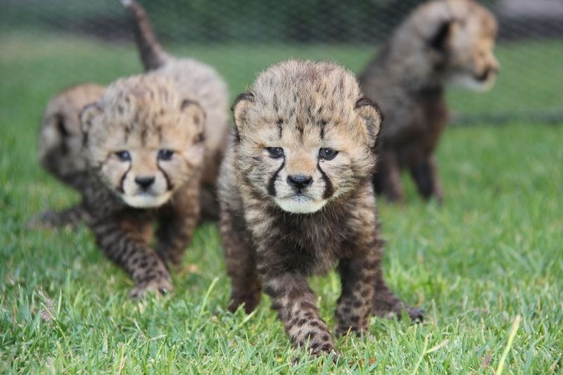 1_Cheetah Cubs
