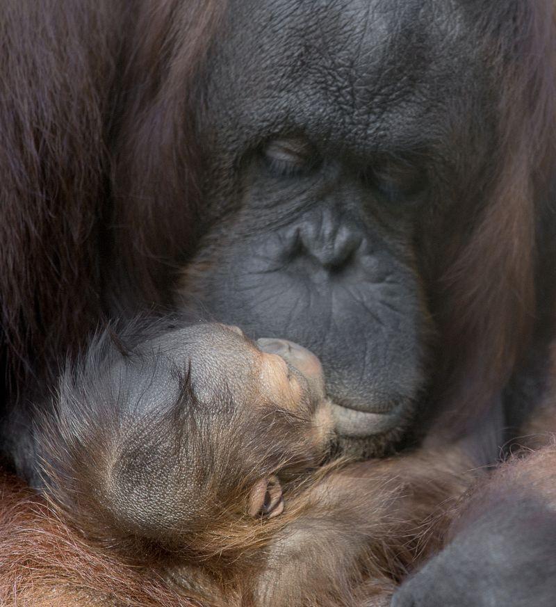 4_primates orang josie gojo 1 dec 26 2015 by Dave Parkinson