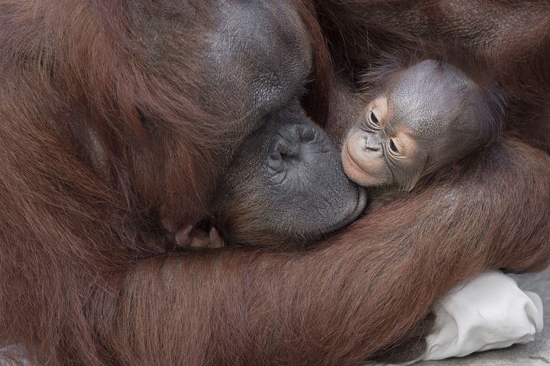 5_primates orang josie and baby 1 dec 27 2015 by Dave Parkinson