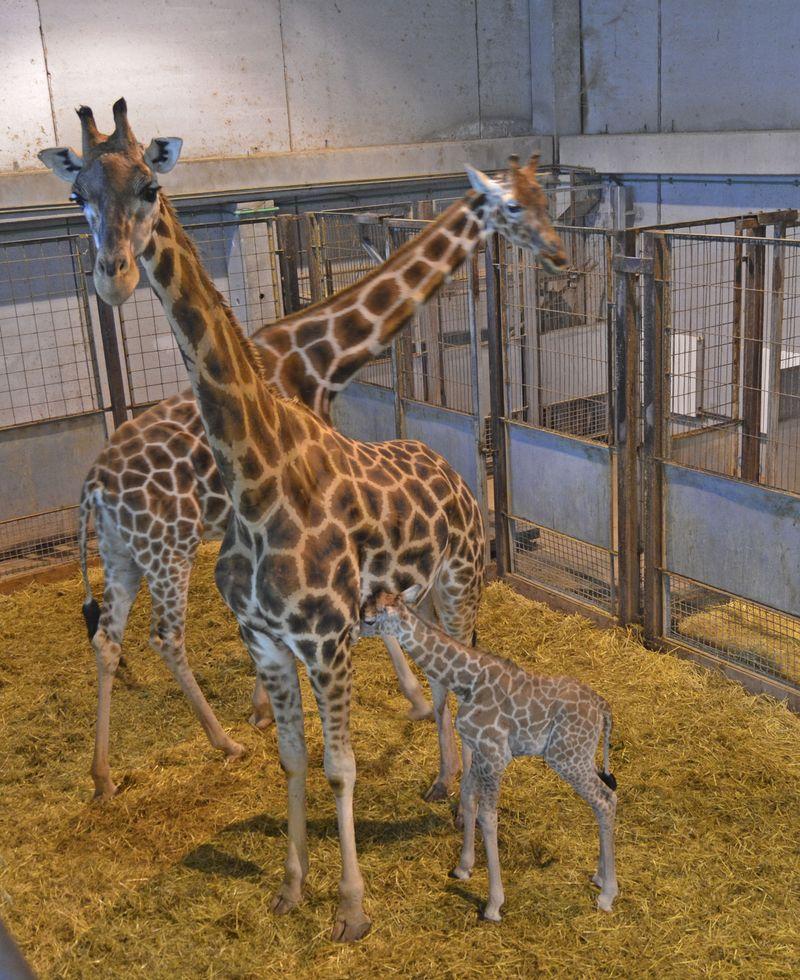 2_Cría de jirafa recién nacida - BIOPARC Valencia