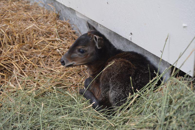 3_Virginia-Zoo-Baby-Diker-1