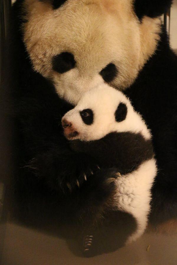 toronto u2019s giant pandas have their 100