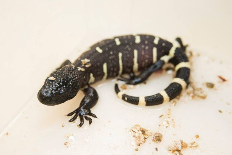 2_Beaded Lizard hatchling Columbus Zoo