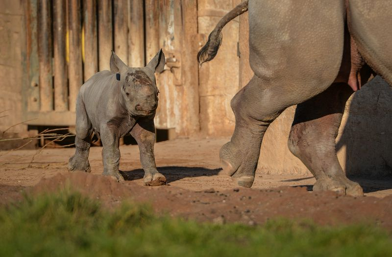 3_One-week-old Eastern black rhino calf, Gabe, steps out into the sunshine on his public debut (29)
