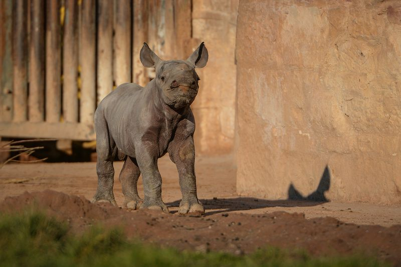 4_One-week-old Eastern black rhino calf, Gabe, steps out into the sunshine on his public debut (22)