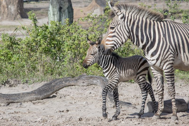 3_Africa Hartmann's mountain zebras Roxie and foal jan 19 2016