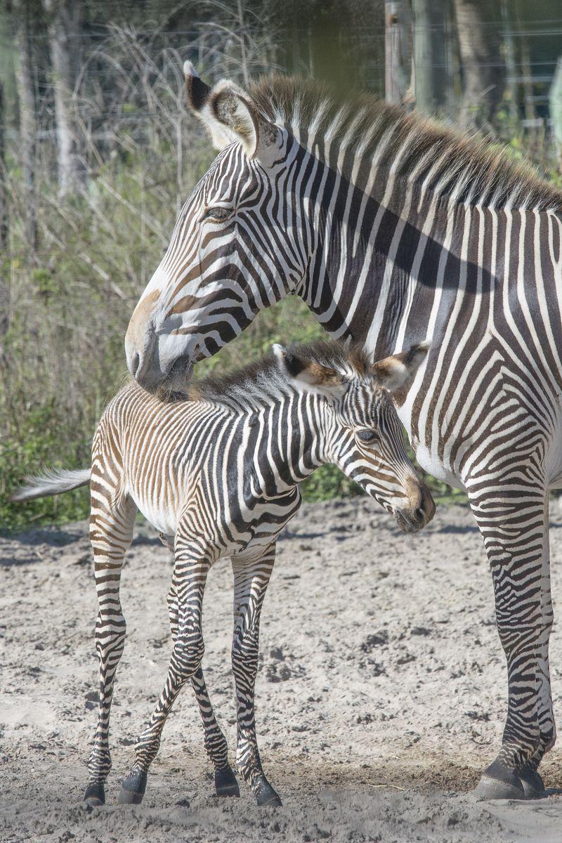 7_Grevy's zebra Penda (foal) Penzima (mom) nov 25 2015