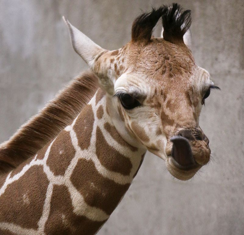 Giraffe calf3-Carla Knapp