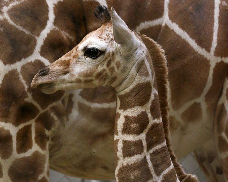 Giraffe calf4-Carla Knapp