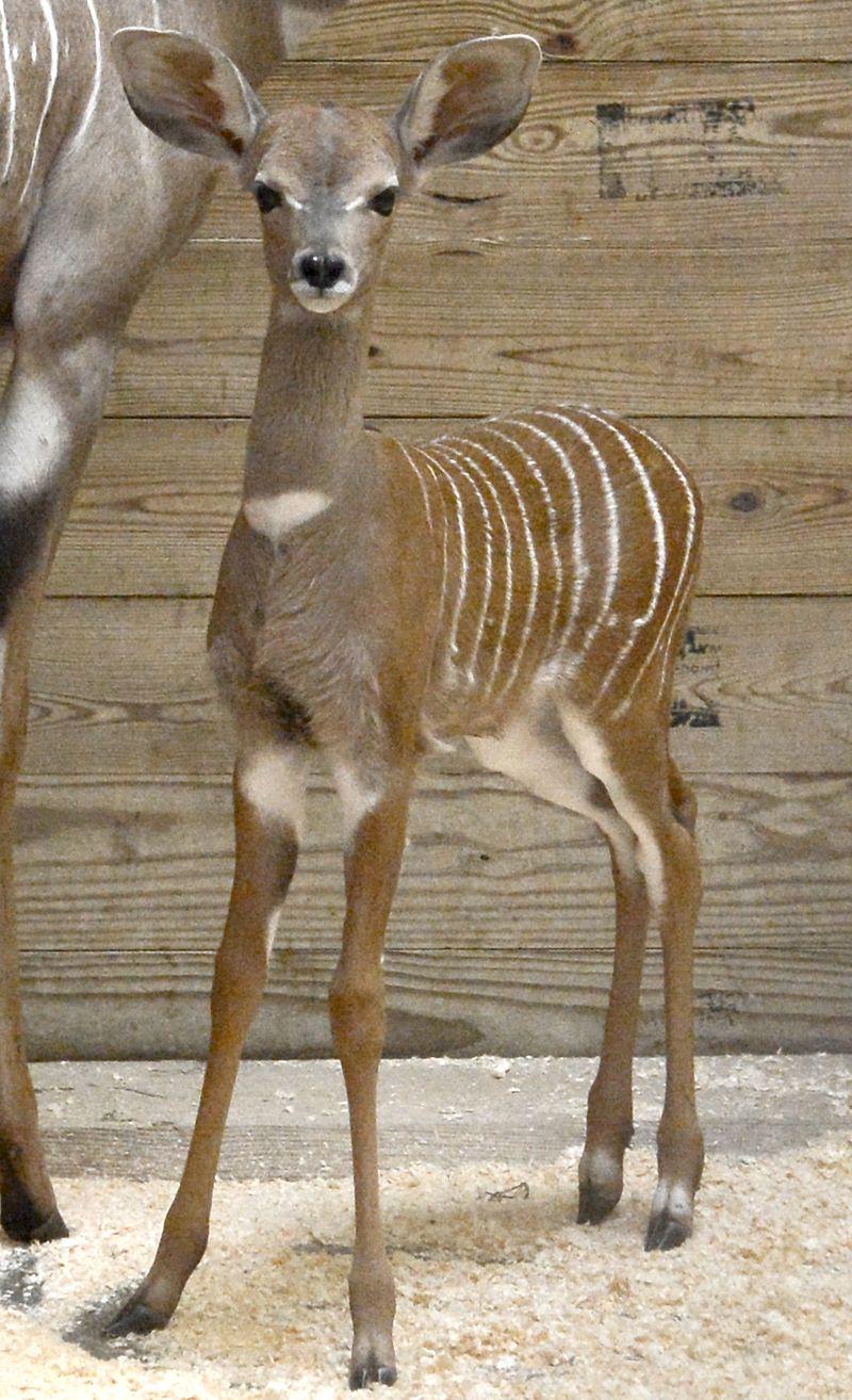 2_Lesser kudu calf Kaiser_JFB6907