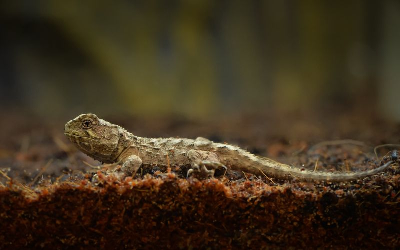 2_A unique tuatara has hatched at Chester Zoo. It's the world's first ever breeding of the species outside of their native New Zealand.  (6)