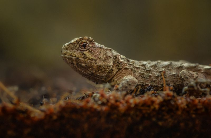 3_A unique tuatara has hatched at Chester Zoo. It's the world's first ever breeding of the species outside of their native New Zealand.  (4)