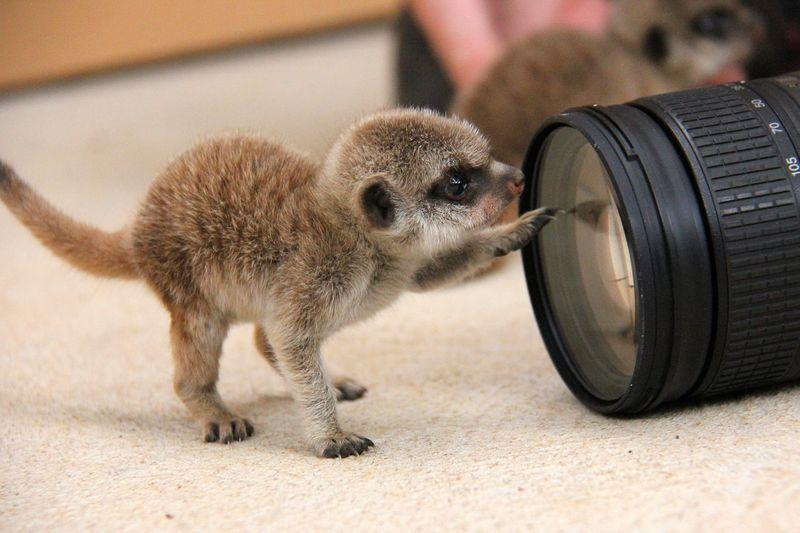 Meerkat Pups_Photo by Paul Fahy (9)