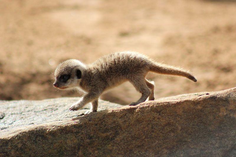 Meerkat Pups_Photo by Paul Fahy (11)