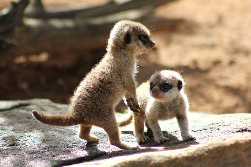 Meerkat Pups_Photo by Paul Fahy (12)
