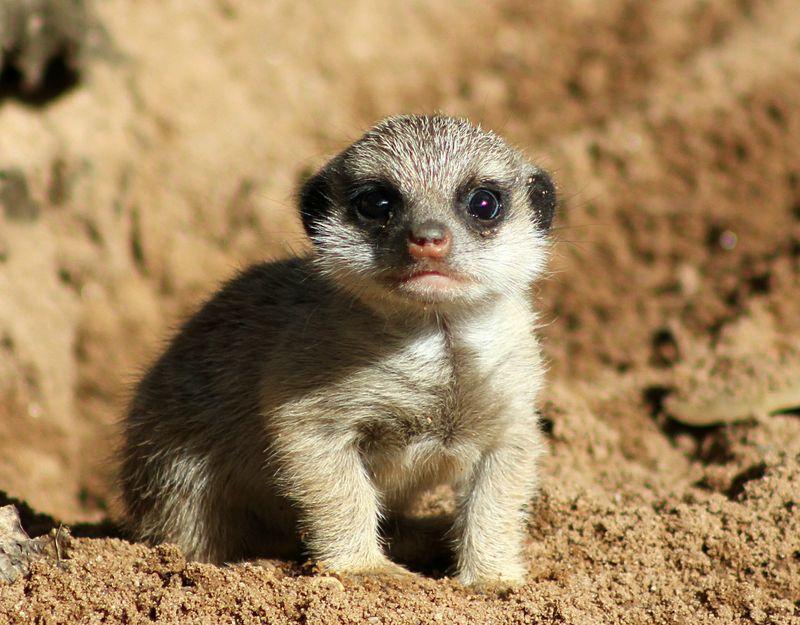Meerkat Pups_Photo by Paul Fahy (20)