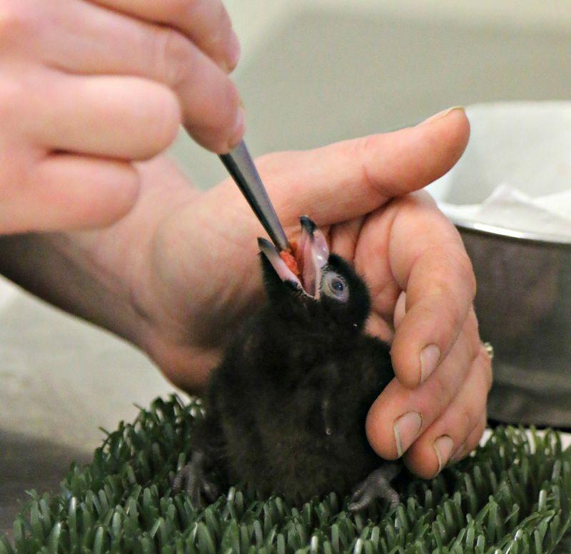 Great Blue Touraco Chick feeding at Paradise Park Cornwall