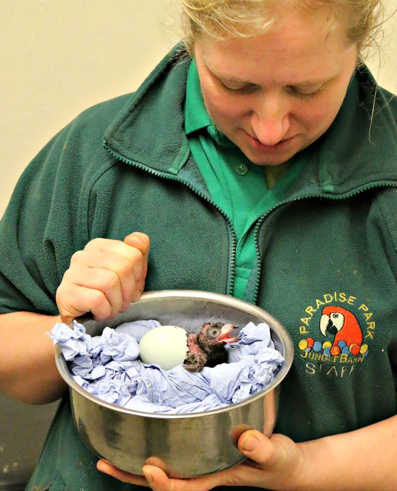 Keeper Becky Waite with Great Blue Touraco Chick Paradise Park