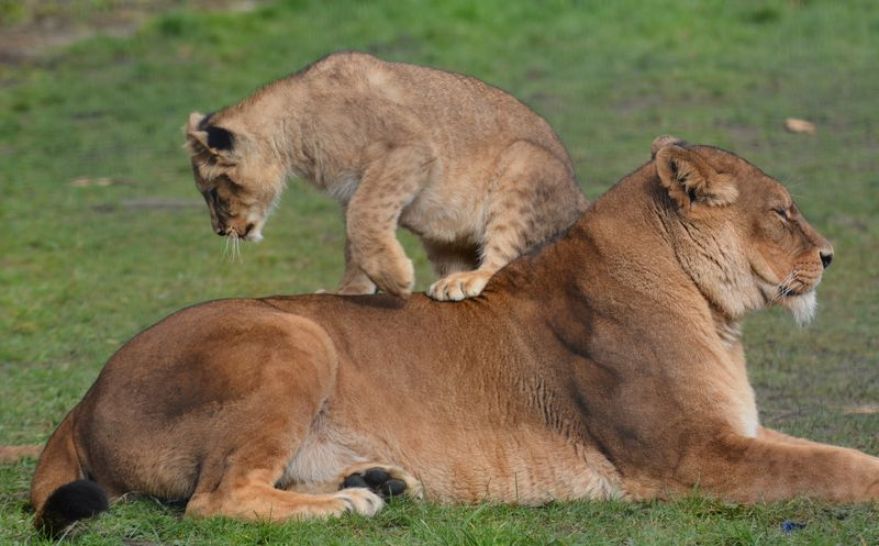 African Lion cubs with mum Safina at Linton Zoo, photo by Michelle Aylott (7)