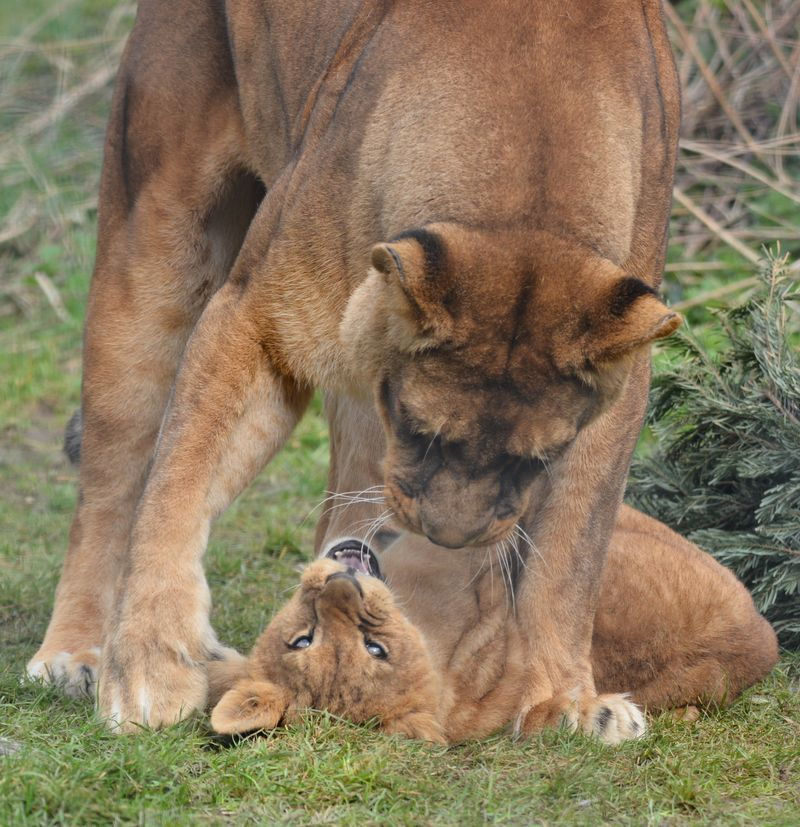 African Lion cubs with mum Safina at Linton Zoo, photo by Michelle Aylott (1)