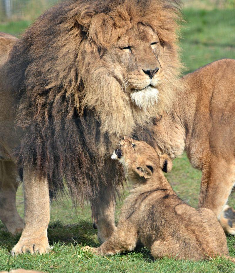 Zuri safina and cubs cc