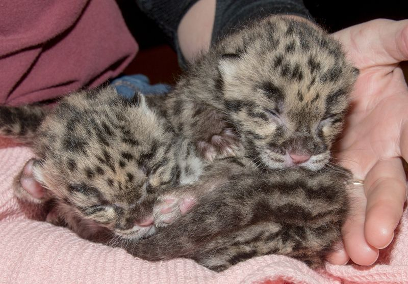 Clouded leopard cubs 1 mar 6 2016
