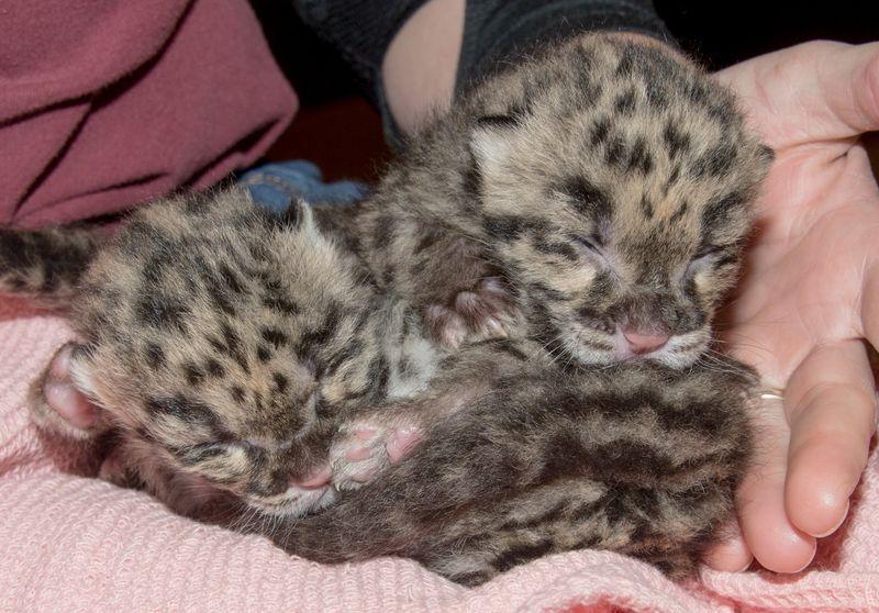 Clouded leopard cubs 1 mar 6 2016