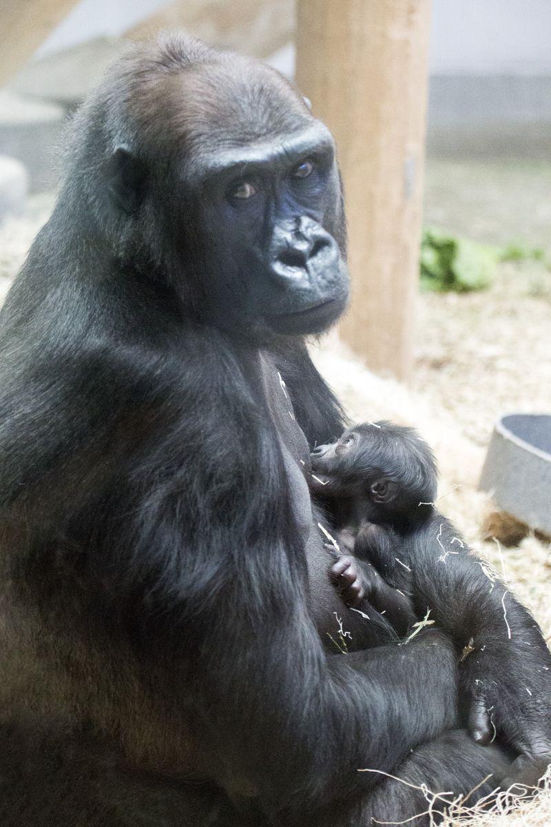 2_gorilla_baby-Whimsie_03