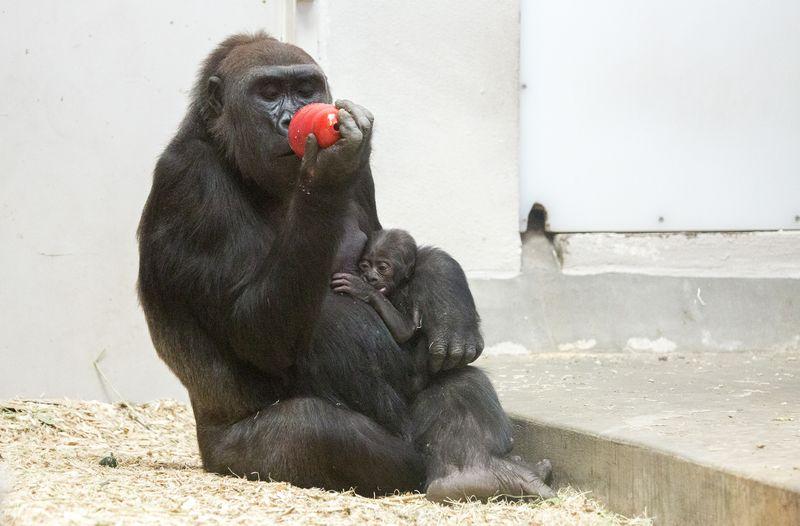3_gorilla_baby-Whimsie_04